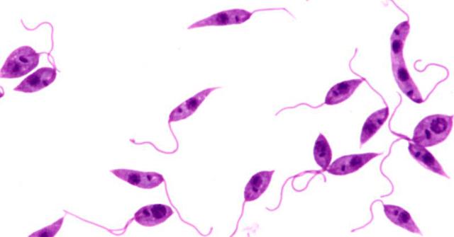 leishmaniasis paraziták