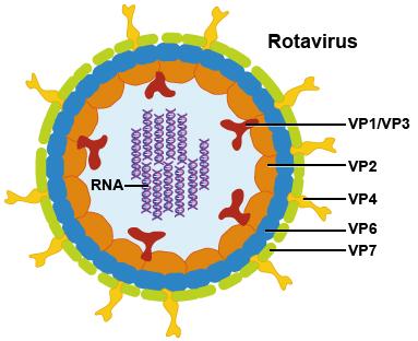 Rotavírus elleni védőoltás – Békési Gyógyászati Központ és Gyógyfürdő